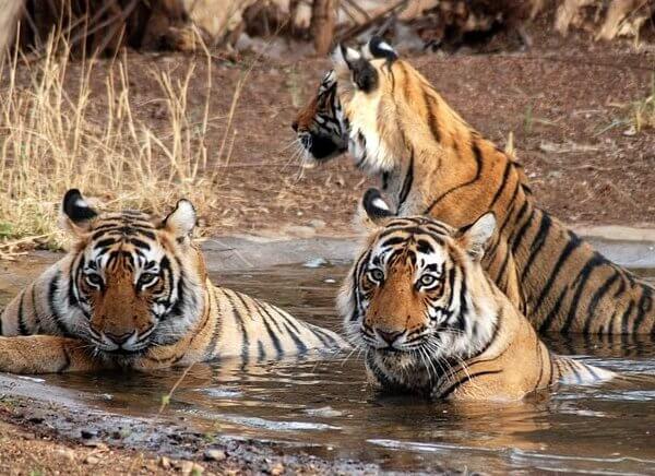 Jaipur Tiger Reserve