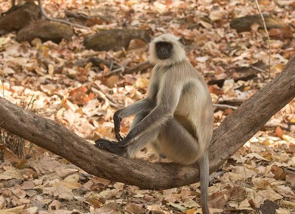 bandhavgarh national park fauna