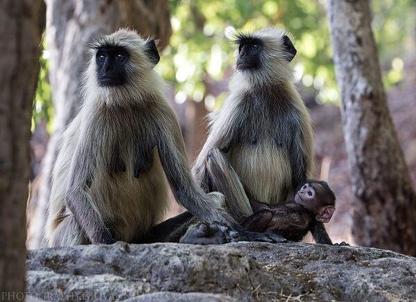 bandhavgarh wildlife langur