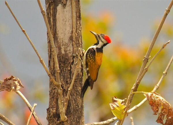 golden back at pench wildlife