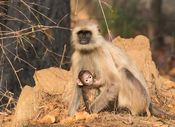 Gray Langur at Bandhavgarh National Park