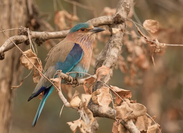 Indian Roller at Pench