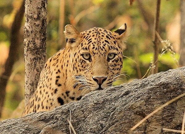leopard at pench wildlife