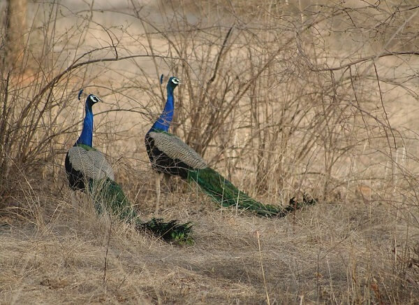 peackock in ranthambore national park