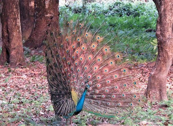 peacock at manas national park