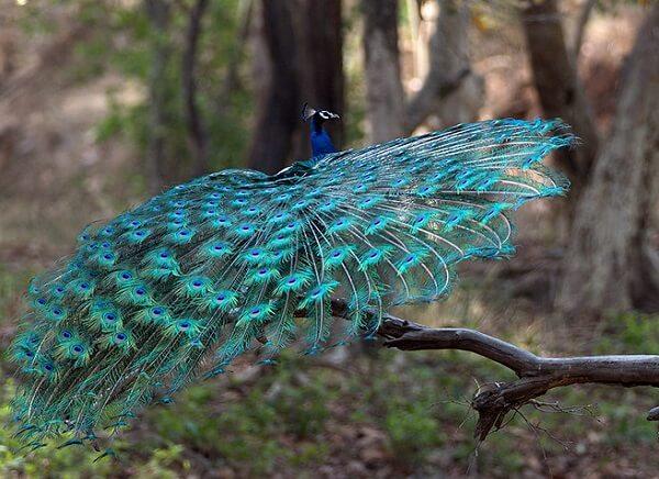 peafowl at bandhavgarh