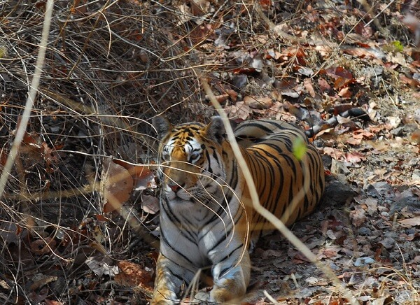 pench wildlife