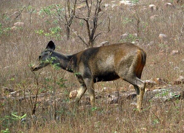 Sambar Deer at Tadoba National Park