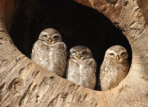 spotted owlets in kanha