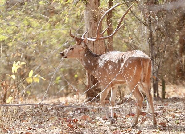 Stag at Bandhavgarh Wildlife