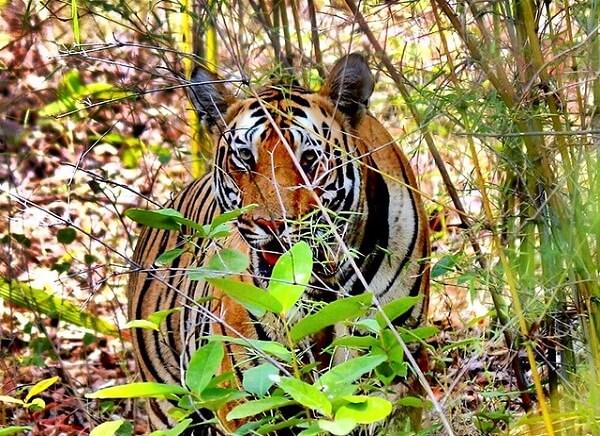 Tadoba Wildlife