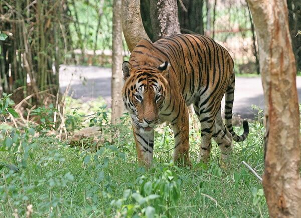 Tiger at Manas National Park