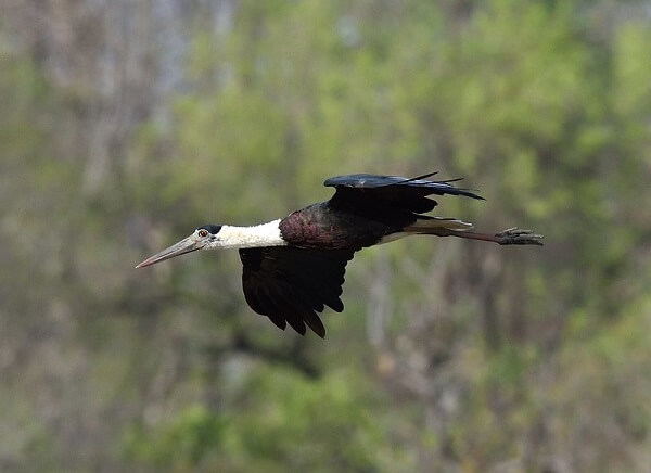 wooly necked stork at pench