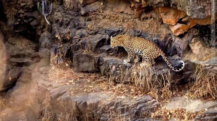 Panther at Ranthambore