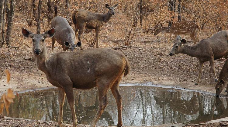 Deer at Ranthambore