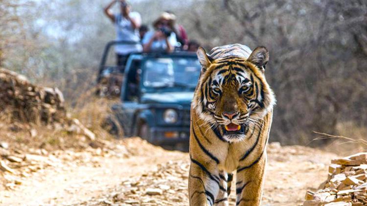 Tiger Safari at Ranthambore