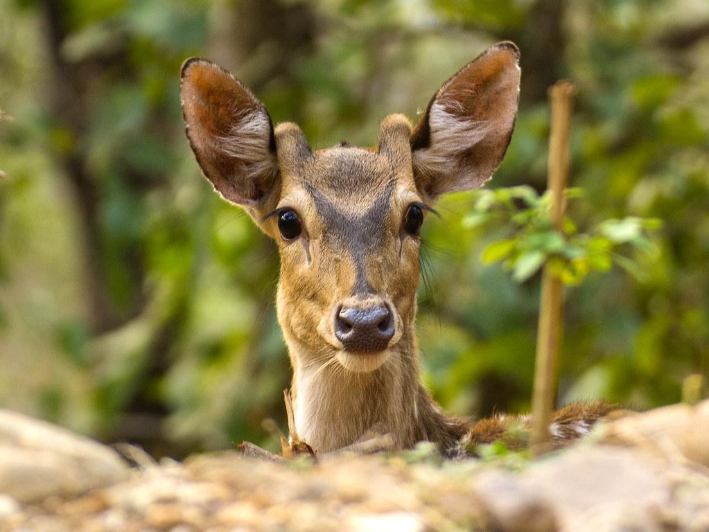 Deer at Corbett
