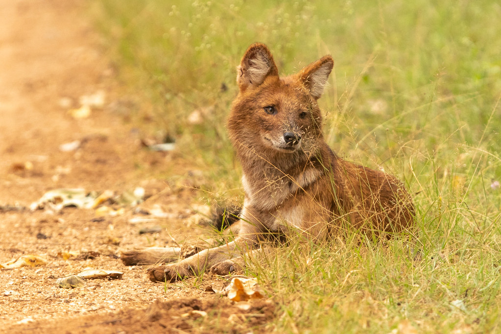Dhole at Nagarhole