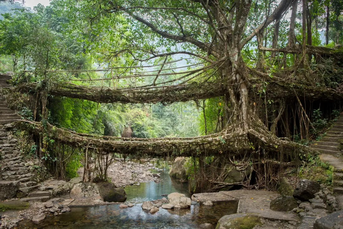 Double Decker Living Root Bridge Meghalaya