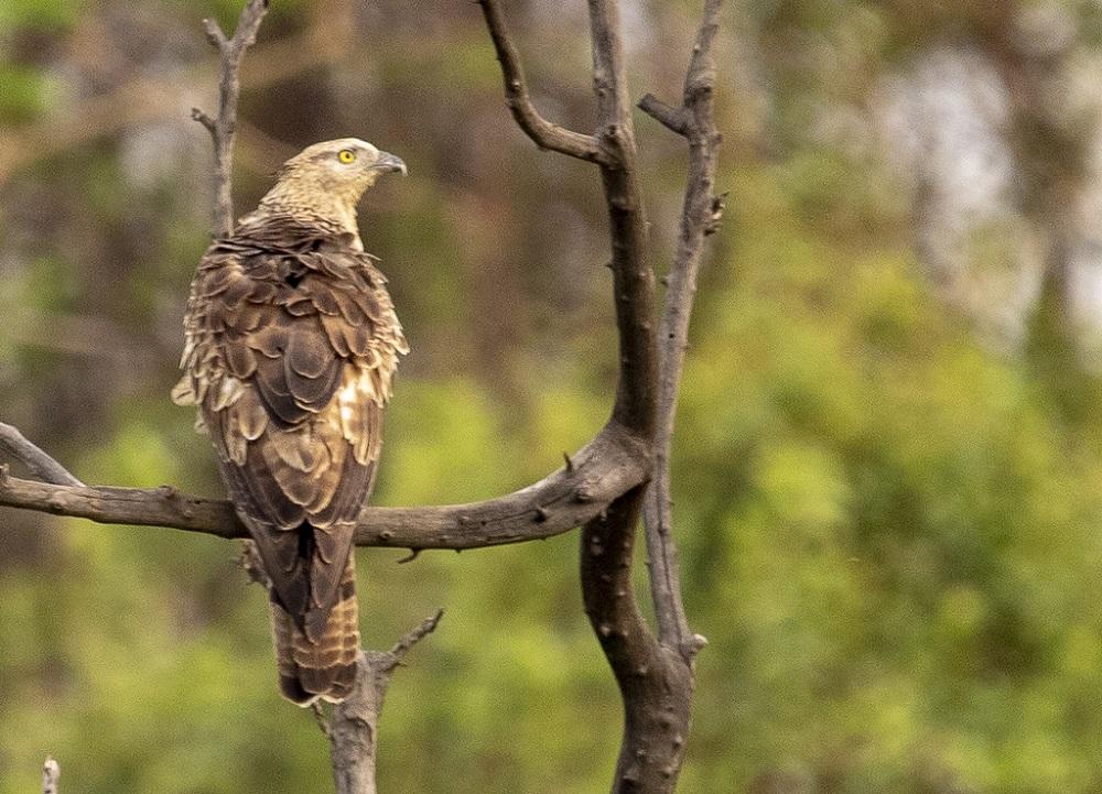 Eagle at Tadoba