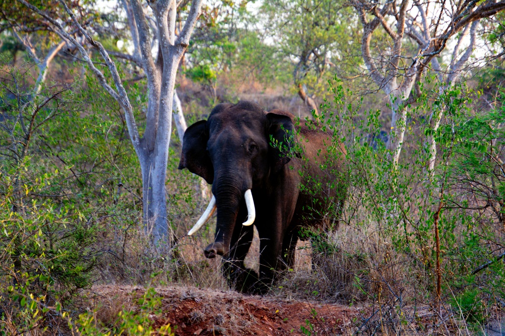 Elephant at Bandipur National Park