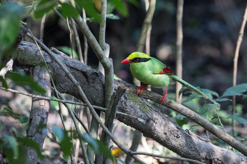 Green Magpie at Corbett