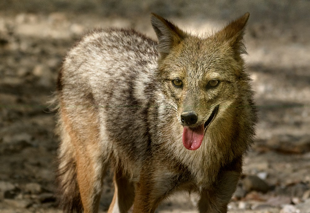 Indian Jackal at Corbett