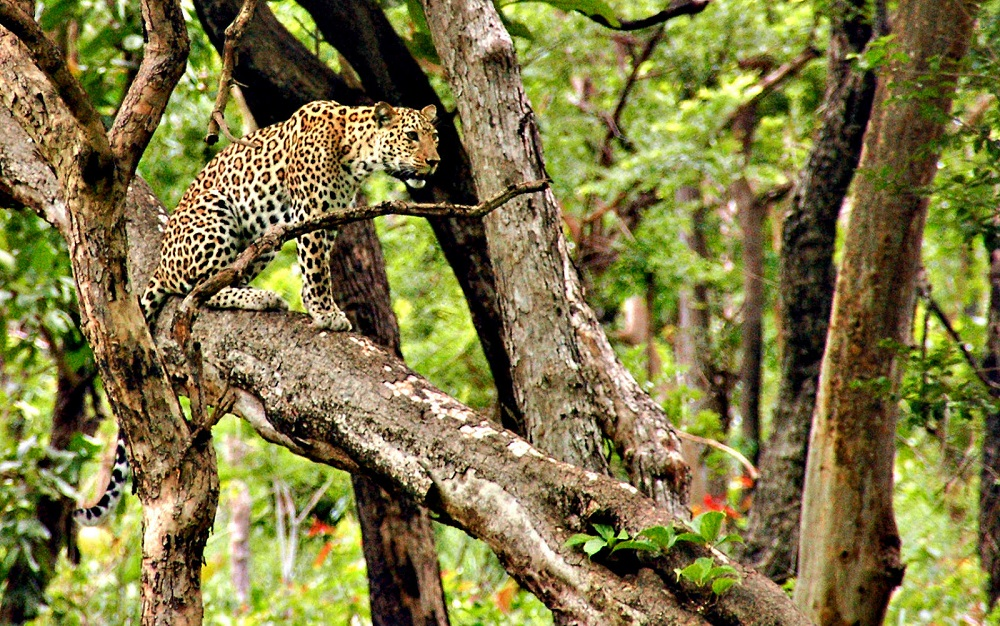 Leopard at Bandipur