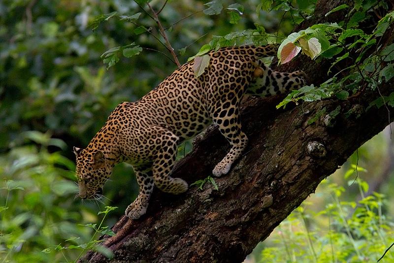 Leopard Bandipur