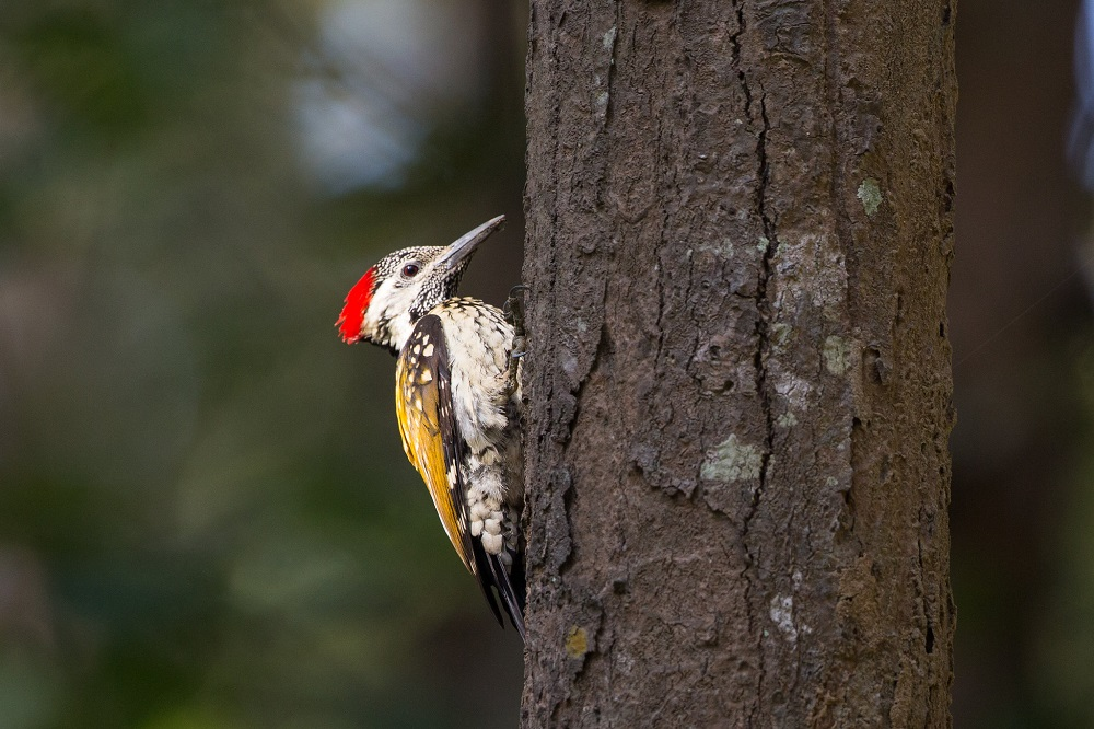 Lesser golden back woodpecker at Corbett