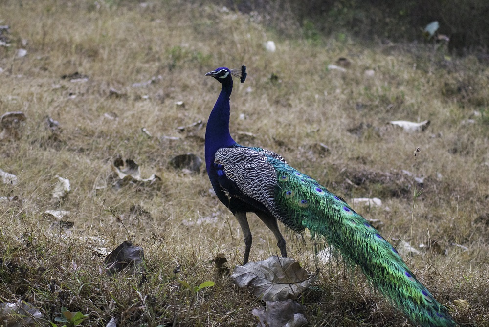 Peacock at Bandipur