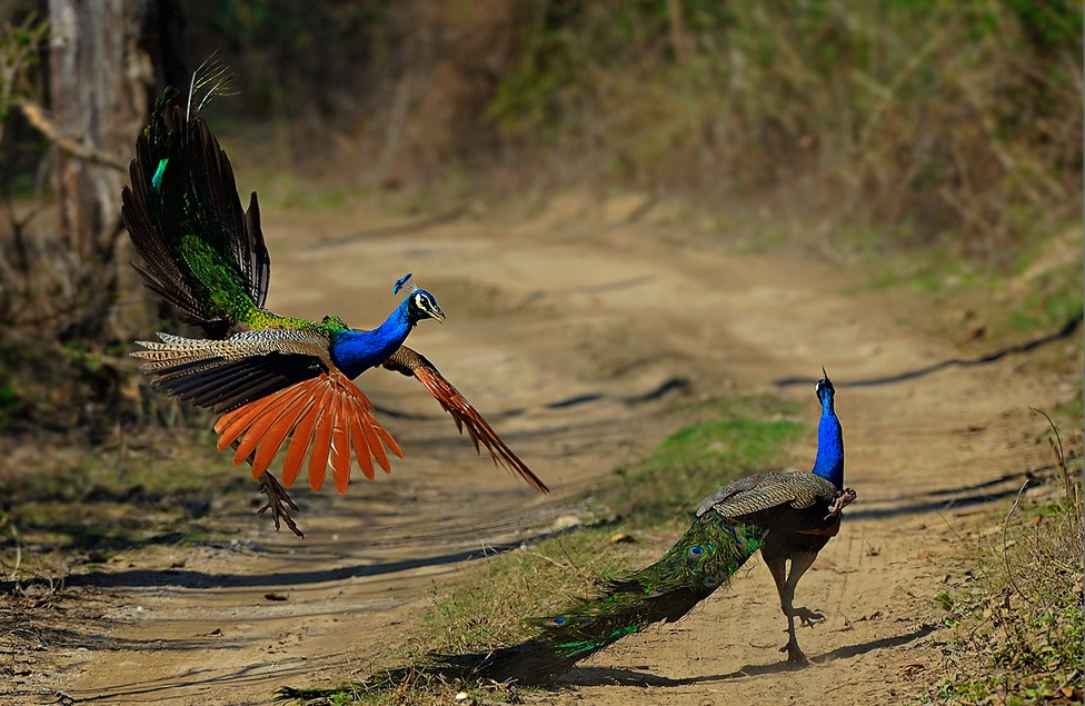 Peafowl at Corbett