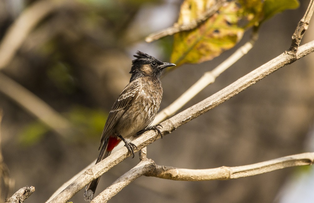 Red Vented Bulbul at Corbett