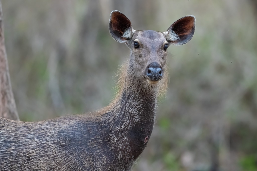 Sambar Deer at Nagarhole