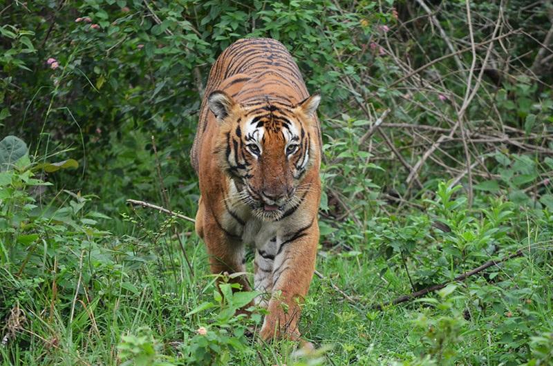 Tiger at Bandipur National Park