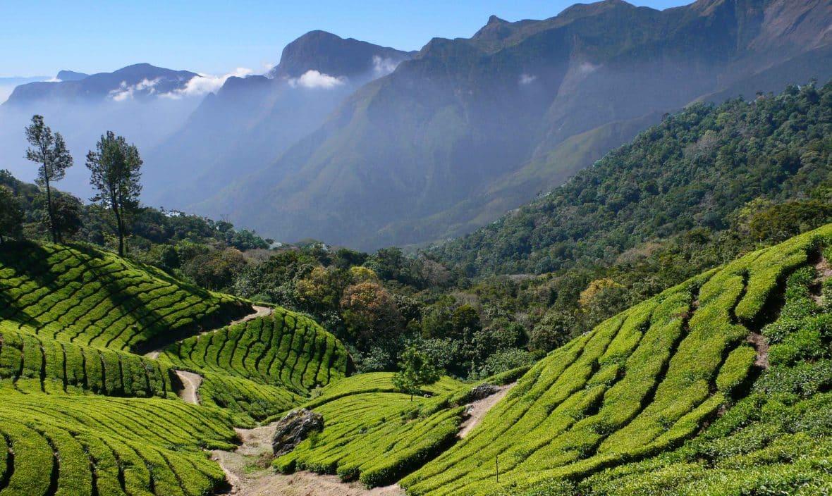 Munnar Tea Plant