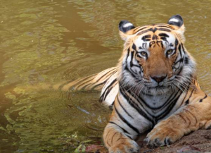 4 Nights 5 Days Tadoba and Pench National Park Tour