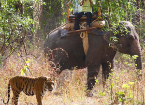 16 Days India best wildlife tiger safari Corbett, Ranthambore, Bandhavgarh