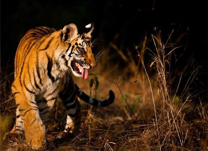 16 Days Footsteps of Tiger India, India Tiger Tour Packages