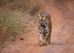 1 Night 2 Days Tadoba Tour from Mumbai - Itinerary, Safari