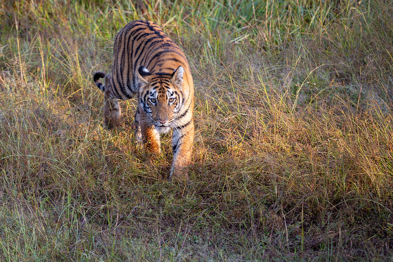 Tiger at Tadoba Wildlife