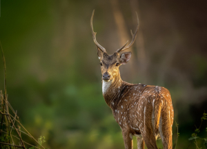 1 Night 2 Days Bandipur Tour From Bangalore - Stay at The Country Club Wildlife Resort