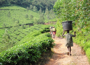 13 Days Kerala Hill Station Tour Packages - Munnar, Periyar, Kumarakom