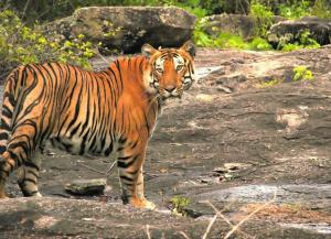 2 Days Bandipur Tour from Bangalore with Bandipur Safari Lodge