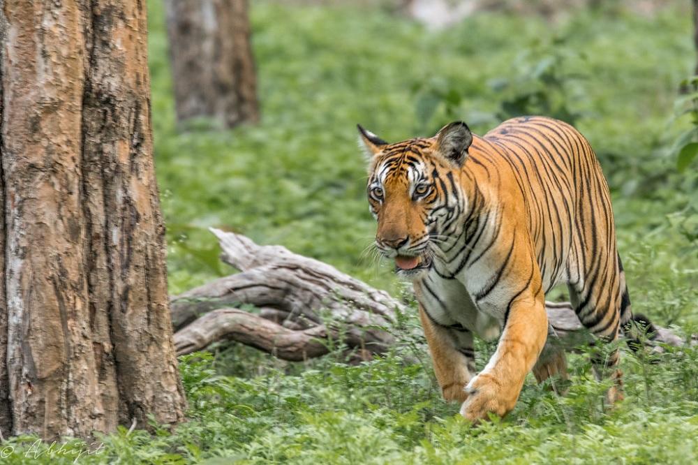 Tigress at Nagarhole