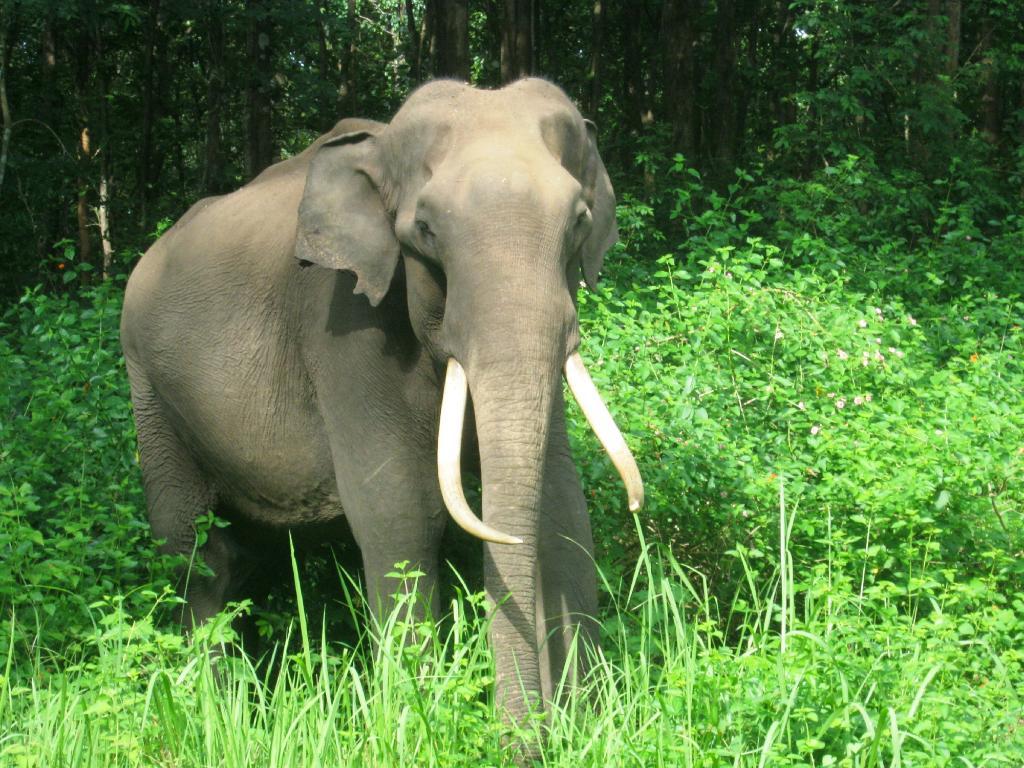 The king sanctuary elephant